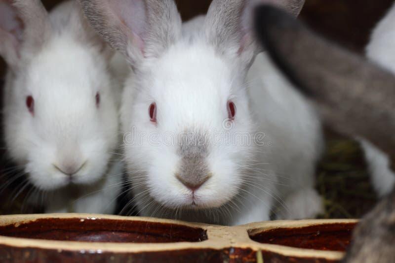 кролики белые стоковые фото