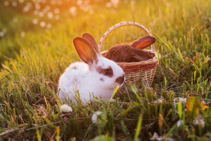 Кролики на заходе солнца стоковые изображения