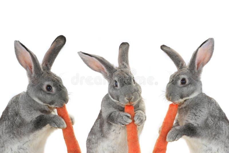 Кролики портрета стоковое фото