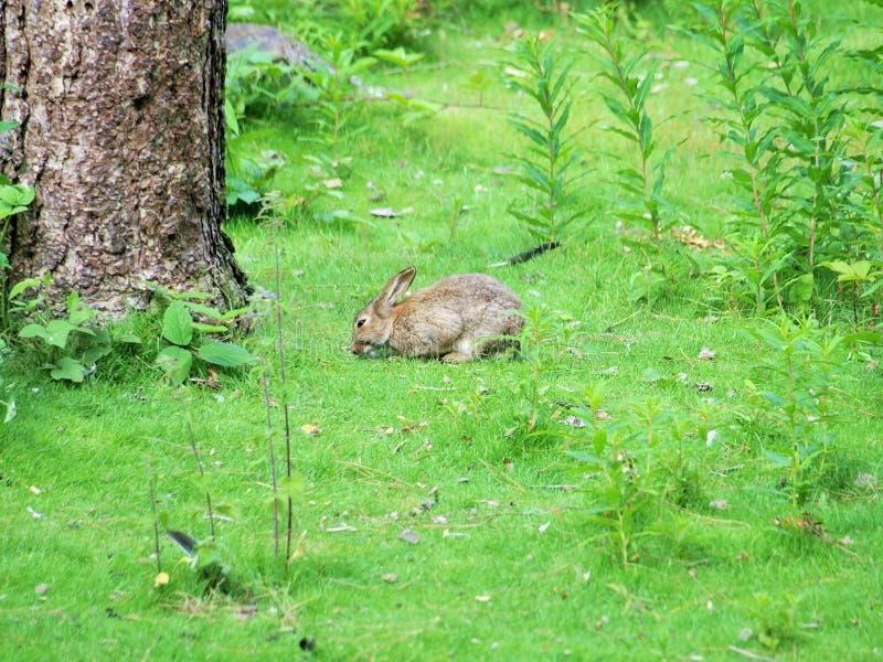 Кролик в древесинах в центре паркует Ноттингем Великобританию стоковое изображение