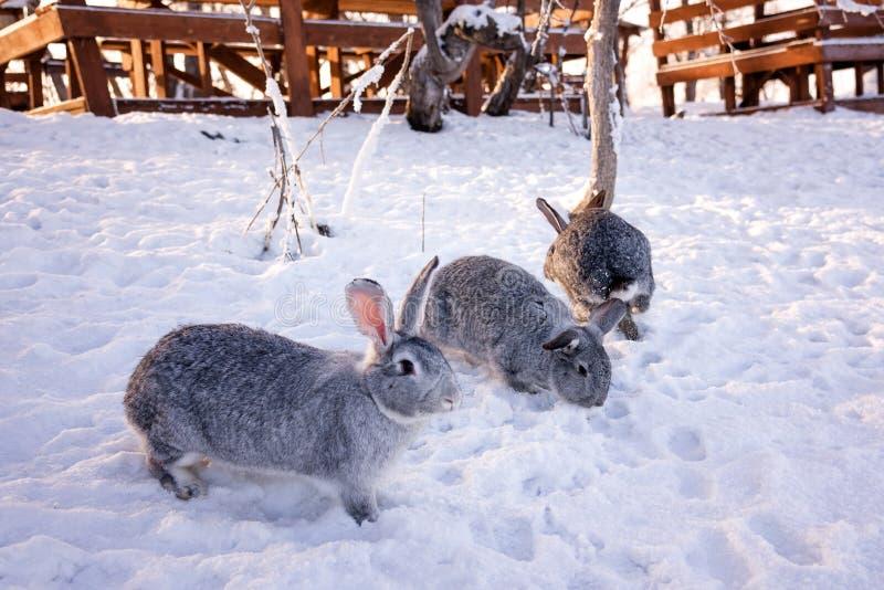 Кролик в снеге стоковые фотографии rf