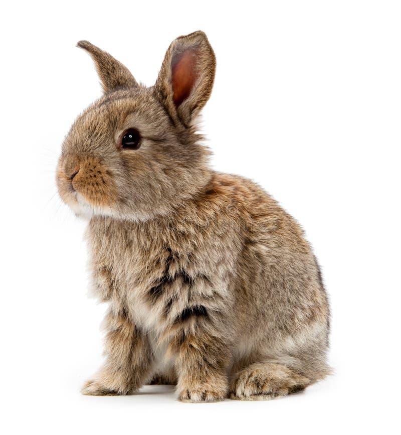 Кролик изолированный на белой предпосылке стоковые фотографии rf
