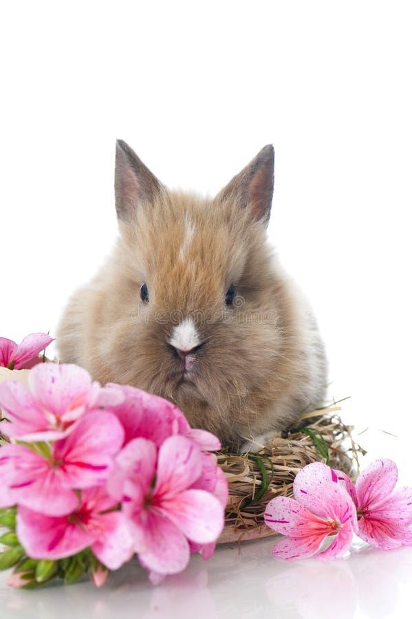 Кролик карлика стоковое изображение rf