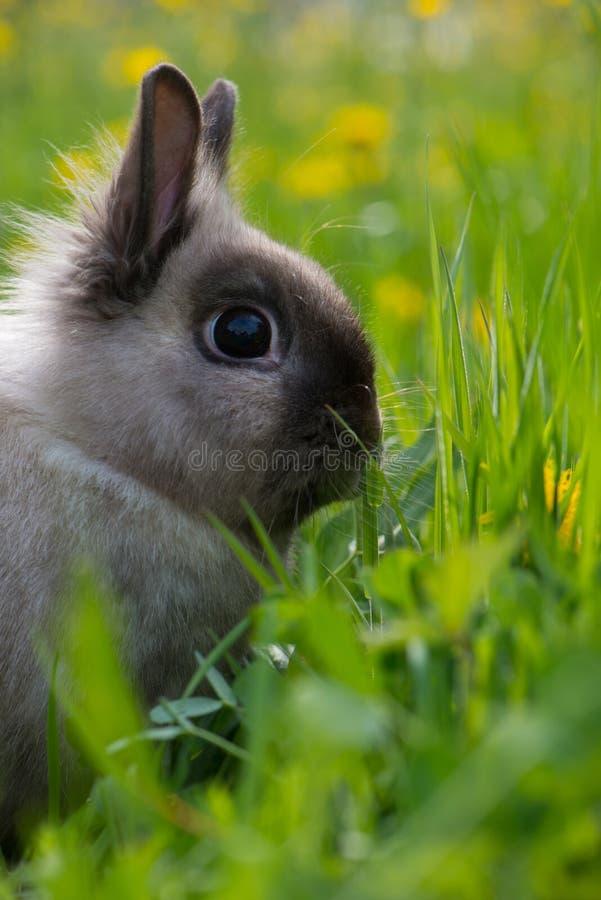 кролик карлика стоковые фото