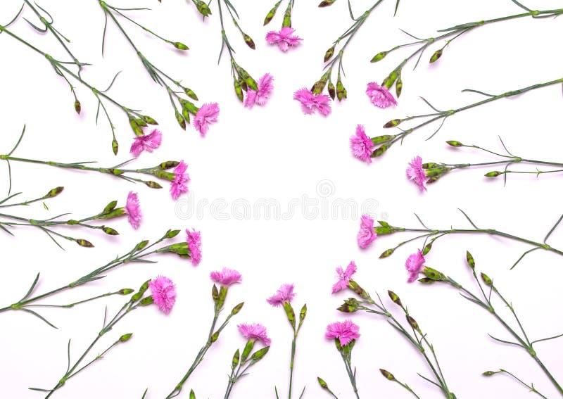 Круглая рамка чувствительных цветков Цветки весны розовые на белой предпосылке стоковое фото