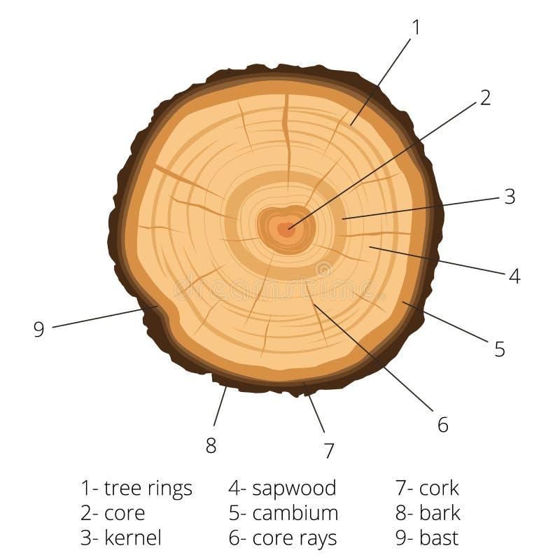 Круглое сечение дерева с ежегодными кольцами с подписанными кусками дерева также вектор иллюстрации притяжки corel иллюстрация вектора