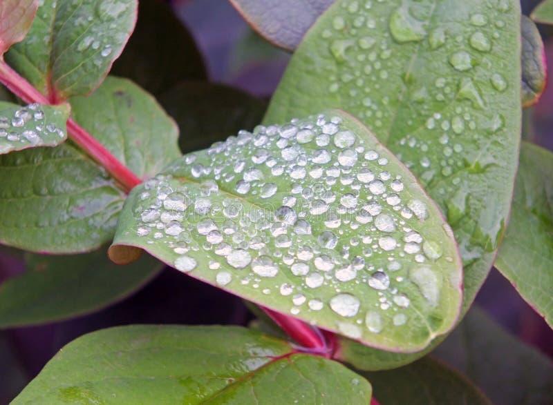 Круглые замороженные дождевые капли в конце вверх на зеленых листьях зимы стоковая фотография rf