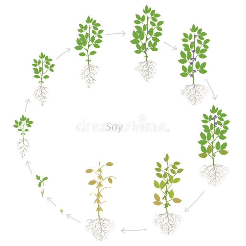 Круглые этапы роста завода сои с корнями Период участков соевого боба установленный Жизненный цикл, прогрессирование анимации иллюстрация штока