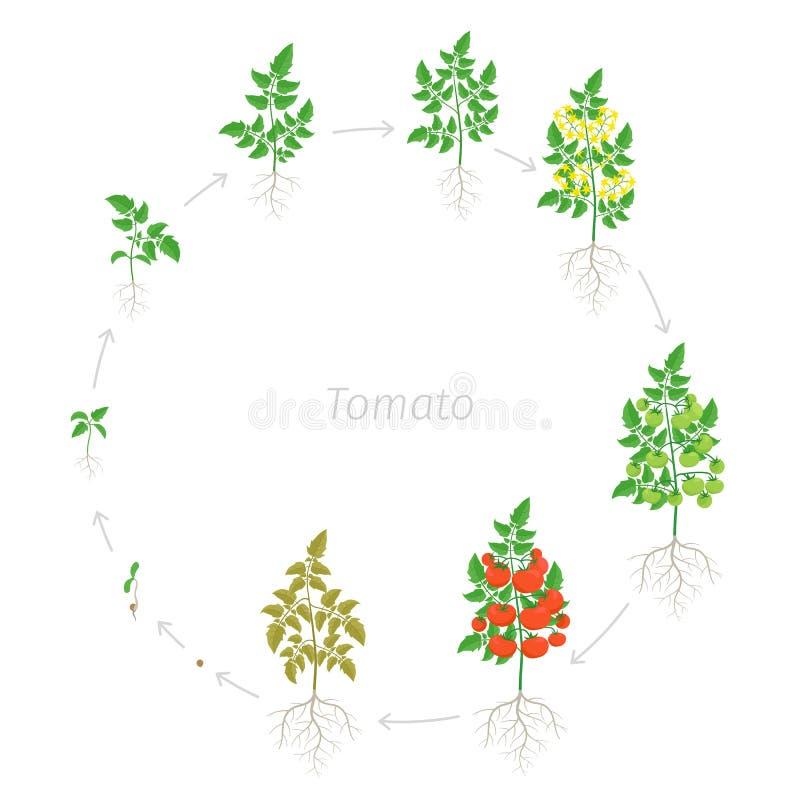 Круглые этапы роста красного завода вишни томата Зрея период Жизненный цикл парников круговой небольших томатов бесплатная иллюстрация