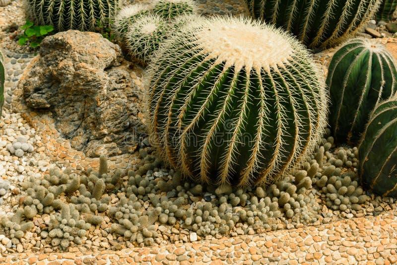 Круглый форменный кактус на гравии растя в парнике стоковые изображения