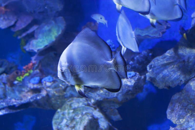 Круговые orbicularis Platax batfish в фото моря воды стоковое фото rf