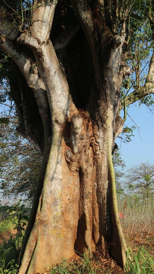 Крупное дерево из коттонвудов с дырой стоковая фотография rf