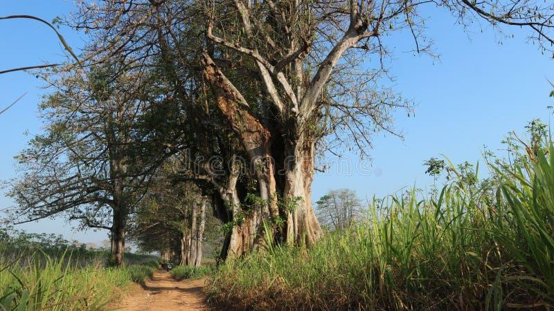 Крупное капок-дерево, фон голубого неба стоковое изображение rf