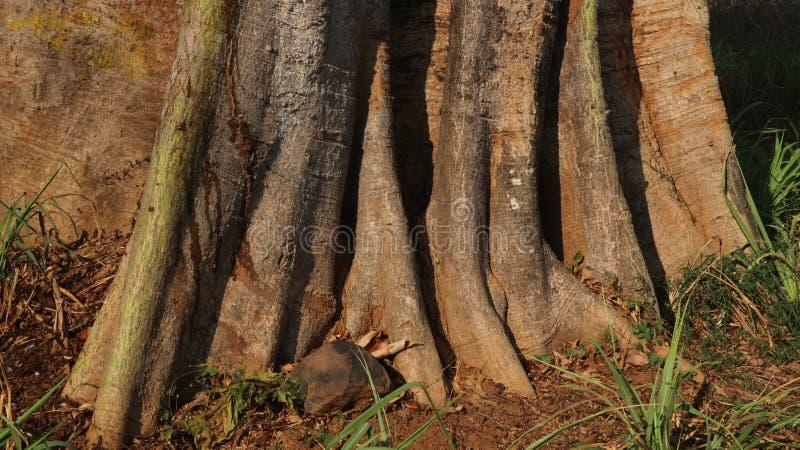 Крупные корни капока, природа стоковые фотографии rf