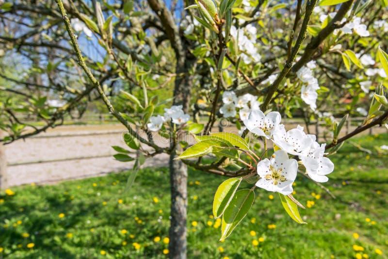 Крупный план белых цветений на яблоне весной стоковая фотография rf