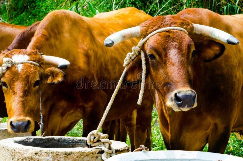 Крупный план большие волы связанные с веревочкой к ринву, животноводческая ферма стоковое фото rf