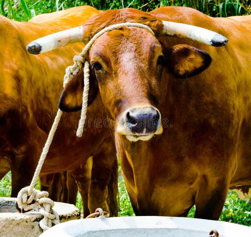 Крупный план большие волы связанные с веревочкой к ринву, животноводческая ферма стоковое фото