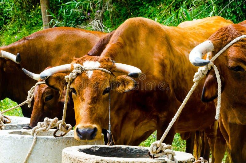 Крупный план большие волы связанные с веревочкой к ринву, животноводческая ферма стоковая фотография rf