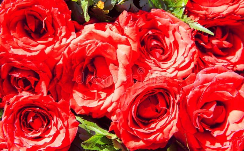 Крупный план букета красной розы Солнечное флористическое фото текстуры Розовые цветки в зеленых листьях Романтичный шаблон знаме стоковые изображения