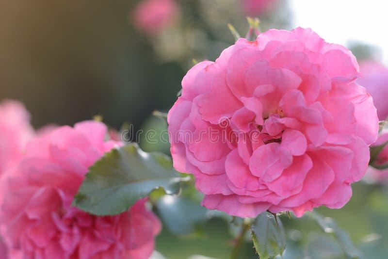 Крупный план бутона цветка розовых роз цвести на заходе солнца на зеленой естественной предпосылке стоковые фото