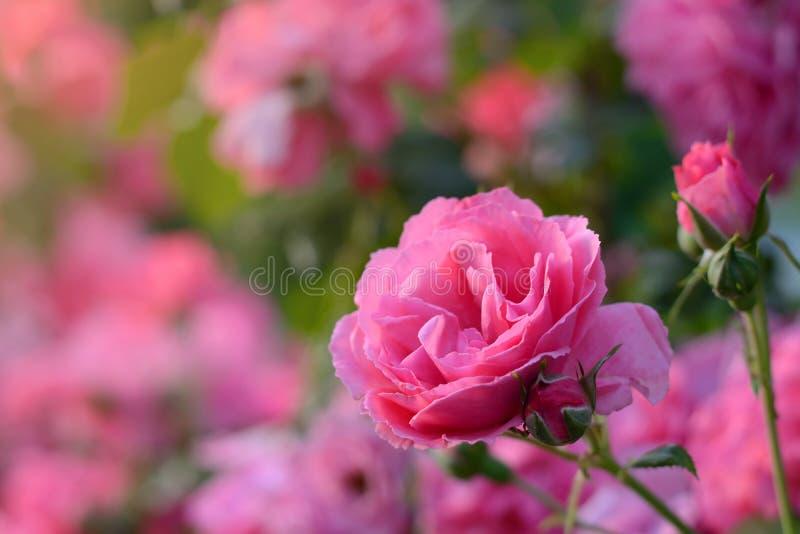 Крупный план бутона цветка розовых роз цвести на заходе солнца на зеленой розовой естественной предпосылке стоковые фото