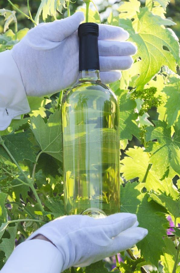 Крупный план бутылки белого вина Перчатки человека нося белые и бутылка удержания белого вина против зеленых листьев лоз стоковые фото