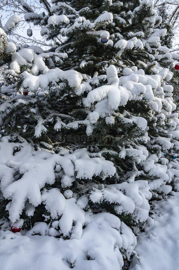 Крупный план вертикальной части голубой рождественской елки покрытой с белым пушистым снегом Спрус украшенный с шариками рождеств стоковая фотография rf