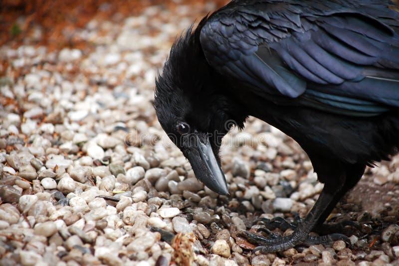 Крупный план ворона стоковое изображение