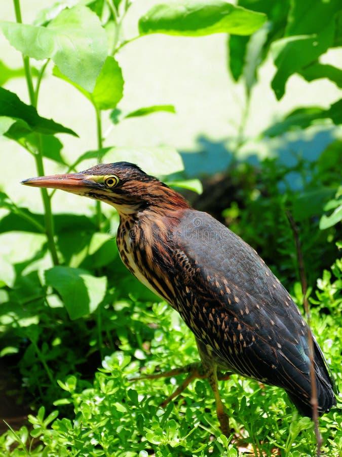 крупный план выпи птицы стоковые фотографии rf