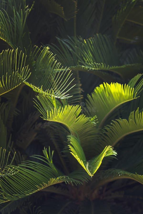 Крупный план выходит Мальорка эндемичные humilis Chamaerops ладони вентилятора стоковые изображения rf