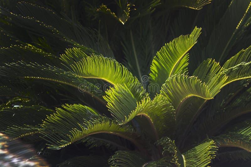 Крупный план выходит Мальорка эндемичные humilis Chamaerops ладони вентилятора стоковое изображение rf
