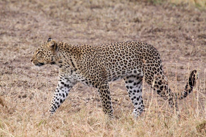 Крупный план гепарда стоковое изображение rf