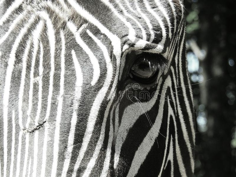 Крупный план глаза зебры стоковые изображения rf