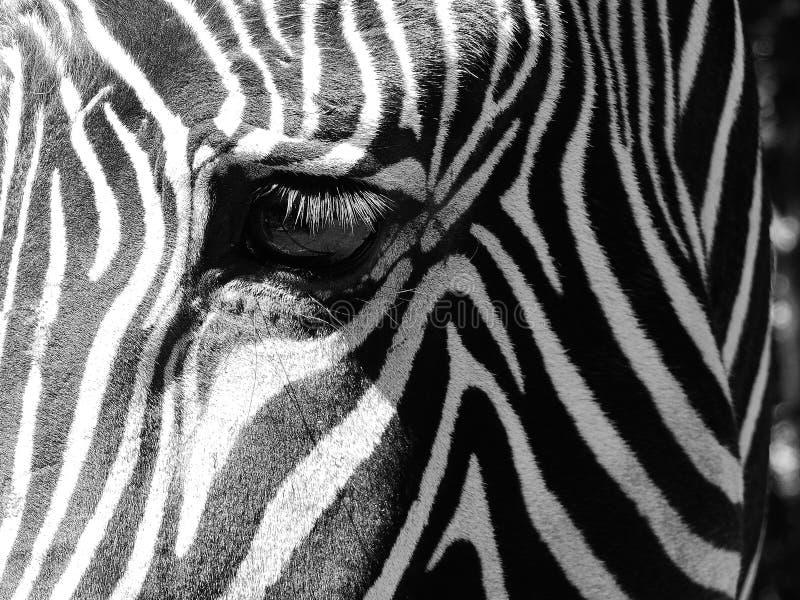 Крупный план глаза зебры стоковые фотографии rf