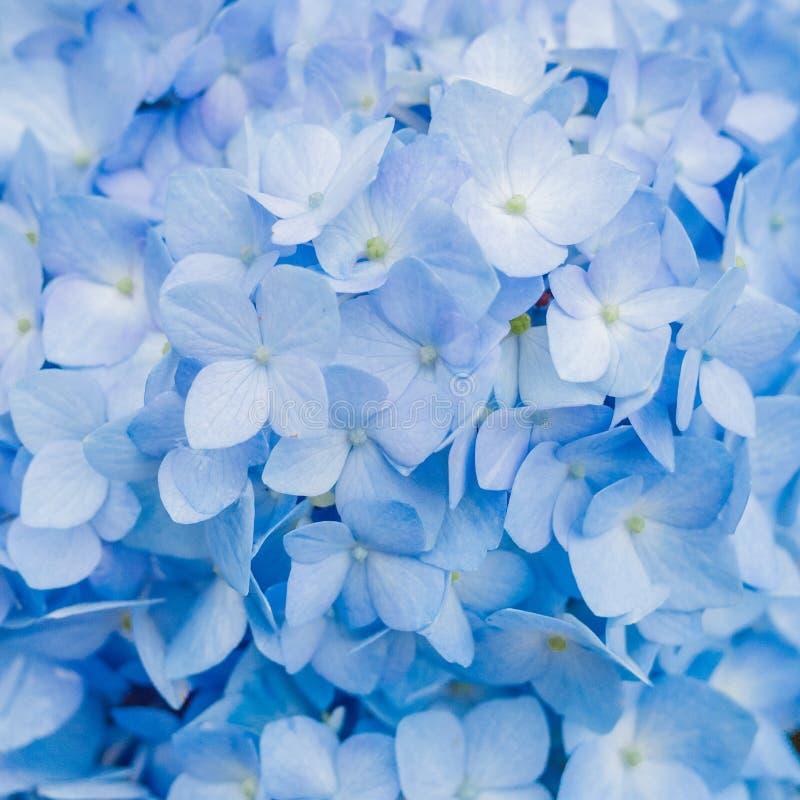 Крупный план голубой гортензии летом стоковое фото rf