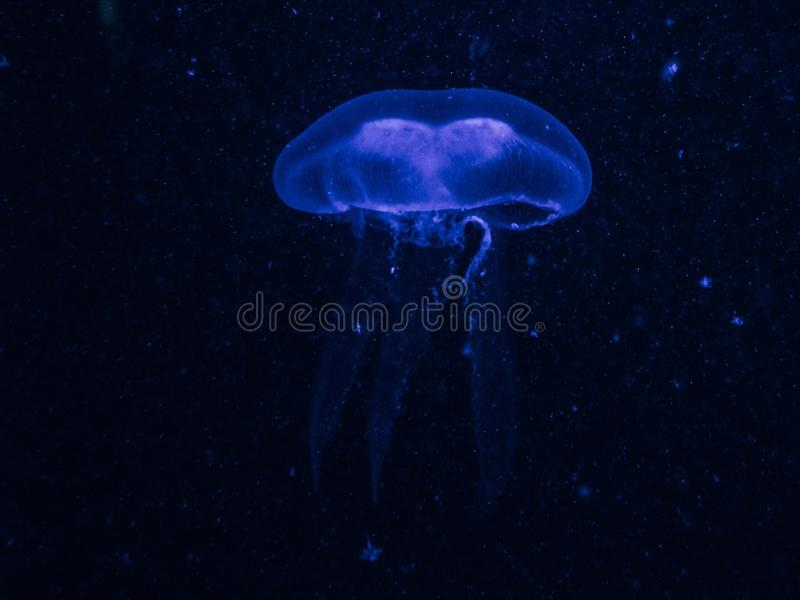 Крупный план голубой медузы в темно-синей воде стоковое фото rf