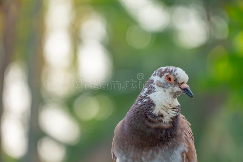 Крупный план голубя птица которая использовала к посыльному в прошлом стоковые фотографии rf