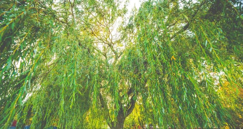 Крупный план дерева плача вербы стоковые фотографии rf