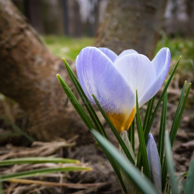 Крупный план жемчуга очень нежного голубого крокуса весны голубого на фоне стоковые фото