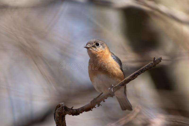 Крупный план женской восточной синей птицы садить на насест на ветви стоковое фото