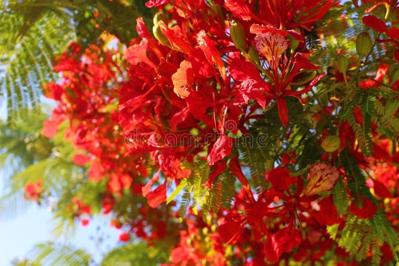 Крупный план зацветая плам-дерева, королевского regia Delonix poinciana Тропический декоративный эндемичный вид дерева от Мадагас стоковая фотография rf