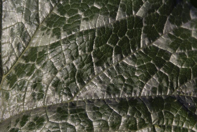 Крупный план здоровых, зеленых лист цукини показывая свои вены ( стоковая фотография