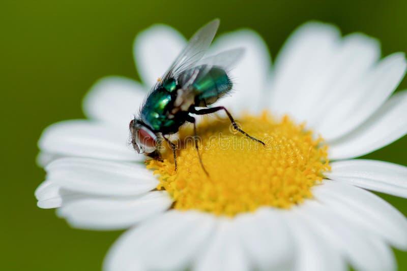 Крупный план зеленой мухы бутылки или мухы дуновения на маргаритке стоковое фото