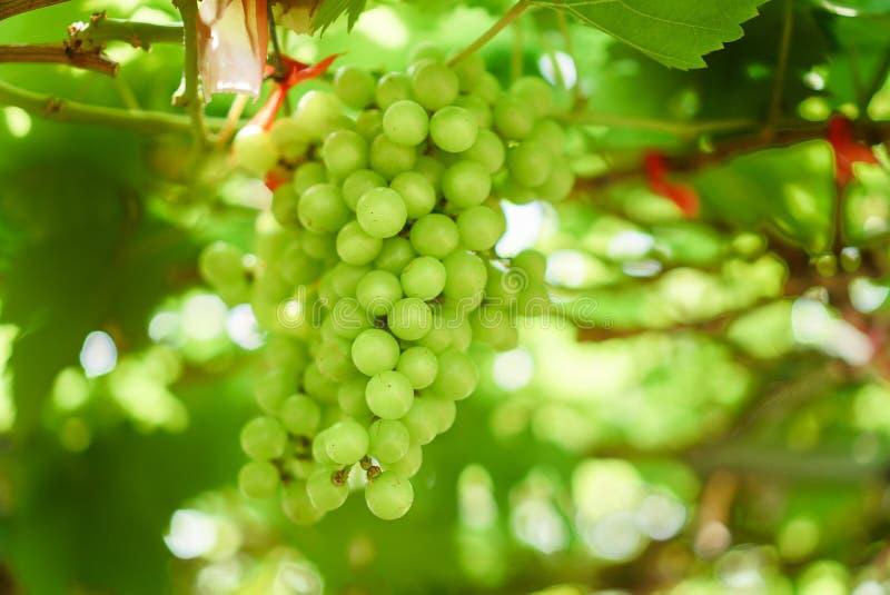Крупный план зеленой связки винограда вися в винограднике стоковые изображения