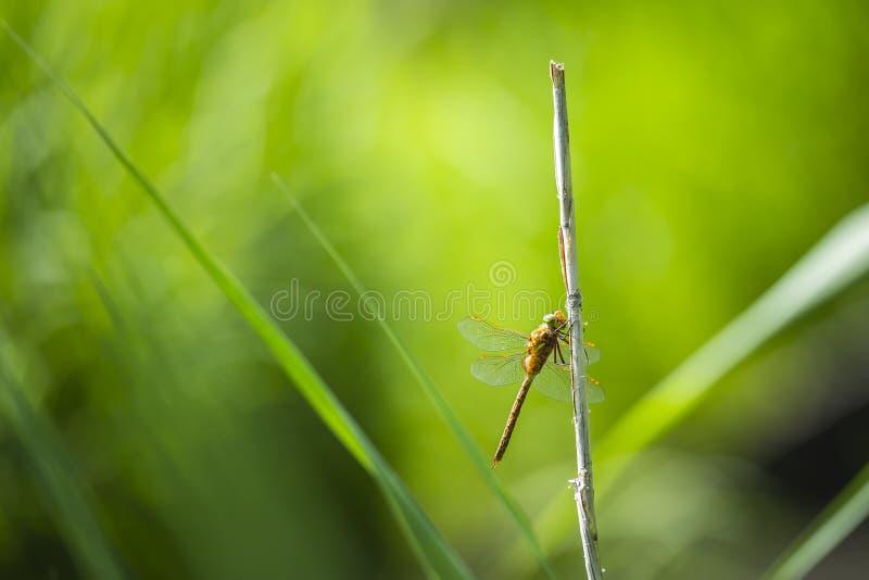 Крупный план Зелен-наблюданного dragonfly лоточницы, isoceles Aeshna стоковое фото