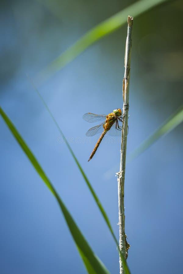 Крупный план Зелен-наблюданного dragonfly лоточницы, isoceles Aeshna стоковые изображения rf