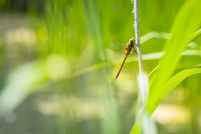 Крупный план Зелен-наблюданного dragonfly лоточницы, isoceles Aeshna стоковые фото