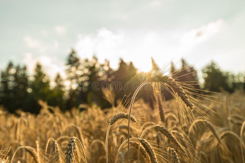 Крупный план золотого уха пшеницы стоя из зрея пшеничного поля стоковое фото rf