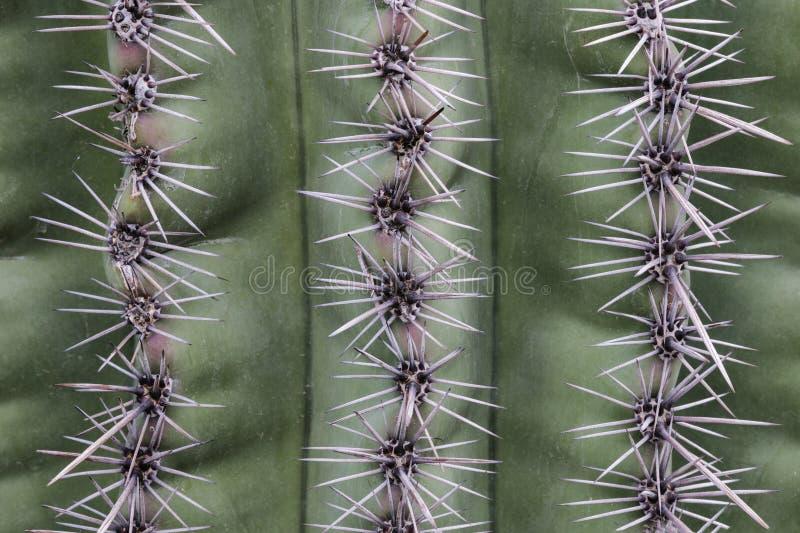 Крупный план кактуса Saguaro; Зеленый экстерьер предусматриванный линиями игл кактуса стоковое фото