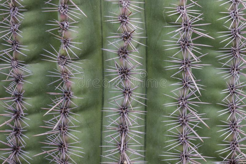 Крупный план кактуса Saguaro; Зеленый экстерьер предусматриванный линиями игл кактуса стоковые фотографии rf
